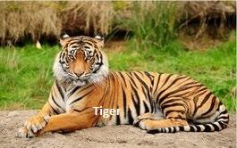 Lion vs Tiger - javatpoint